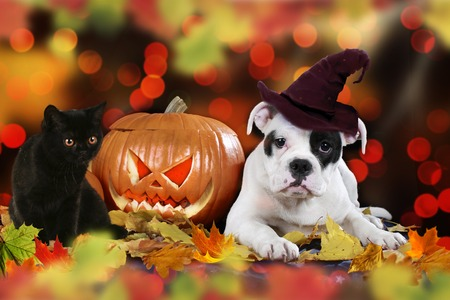 American puppy sitting beside pumpkin and colorful autumn leaves with witch cap and black cat Stockfoto