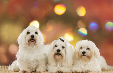 Three cute maltese dogs in front of colorful lights