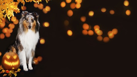 Cute collie dog with pumpkin on black background and orange  halloween lights