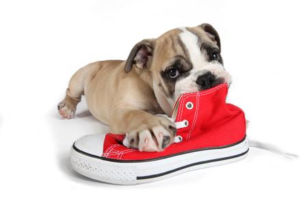 흰색 배경에 고립 된 빨간색 신발을 씹는 귀여운 오래 된 영어 불독 스톡 콘텐츠 - 85484577