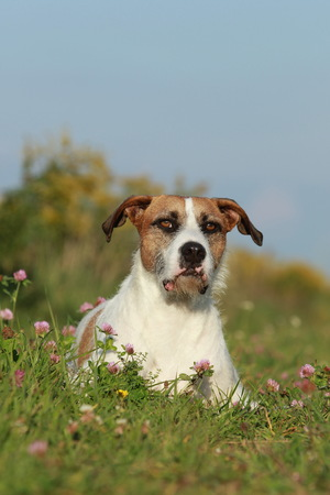 Brown white cross breed dog lying in the meadow in summer