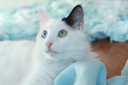 Face of a white odd eyed beautiful cat looking sideways