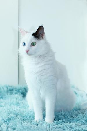 Beautiful odd eyed cat sitting sideways indoor on a light blue blanket