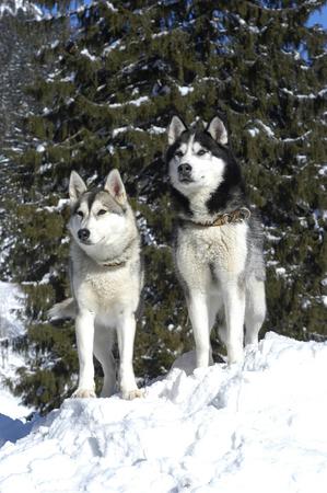 Two siberian huskys sitting in winter in front od snowy trees Reklamní fotografie
