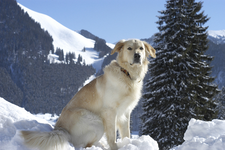 Golden Retriever  half breed sitting in the snow in front of a snowy landscape