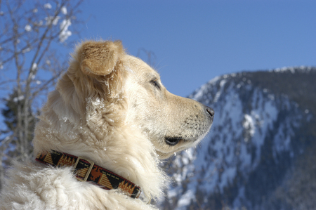 Golden Retriever half breed from side view in the snow