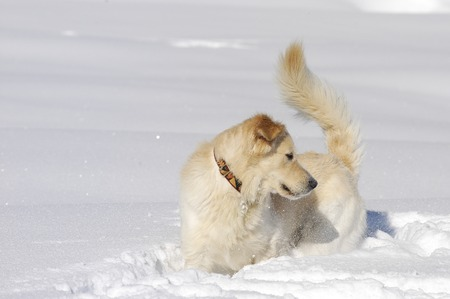 Golden Retriever half breed in the snow sniffing and playing Stock Photo