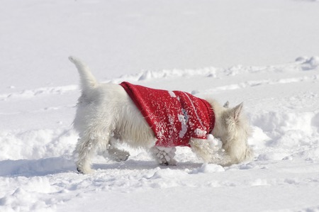 West Highland White Terrier in the snow sniffing with a red pullover Reklamní fotografie - 111880735