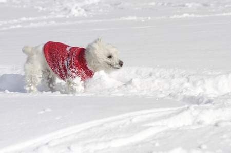 West Highland White Terrier in the snow sniffing with a red pullover