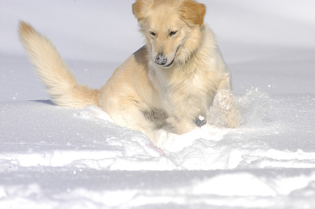 Golden Retriever half breed in the snow sniffing and playing Reklamní fotografie - 111880738