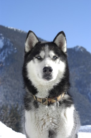 Face of a dark siberian husky in front of mountains