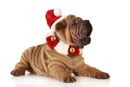Shar Pei puppy sitting on white background with santa costume