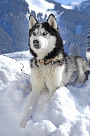 Siberian husky lying in the snow in front of snowy mountains