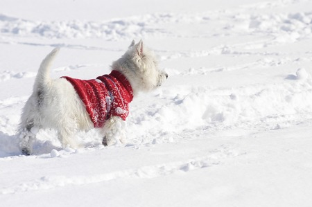 West Highland White Terrier in the snow sniffing with a red pullover from the back Reklamní fotografie - 111871319