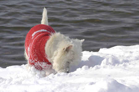 West Highland White Terrier sniffing in  the snow with a red pullover on