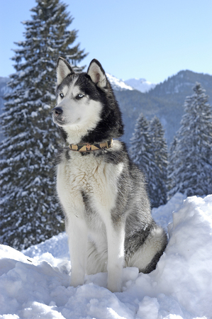 Siberian husky sitting in the snow in front of a snowy landscape