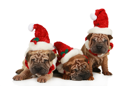 Group of shar pei puppies sitting on white background