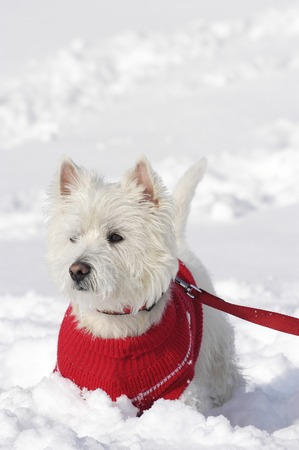 West  highland white teriier from the front standing in the snow with a pullover on Reklamní fotografie