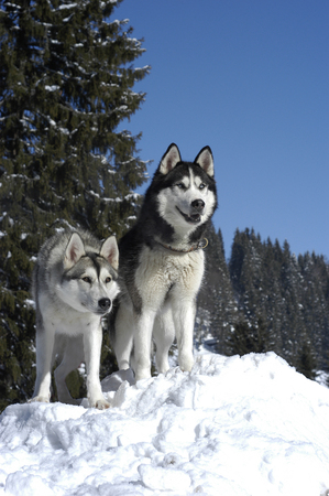 Two siberian huskys sitting in winter in front od snowy trees Imagens