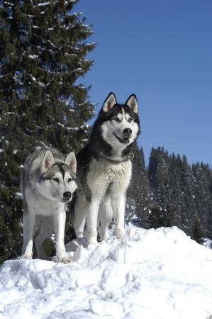 Two siberian huskys sitting in winter in front od snowy trees Reklamní fotografie - 111871391
