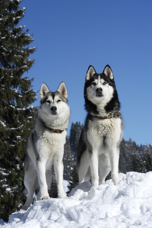 Two siberian huskys sitting in winter in front od snowy trees Reklamní fotografie - 111871395