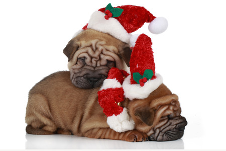 two sharpei puppies sitting on white background with santa costume