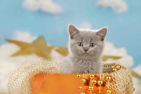 cute grey kitten in an organge box with golden stars Reklamní fotografie - 111954711