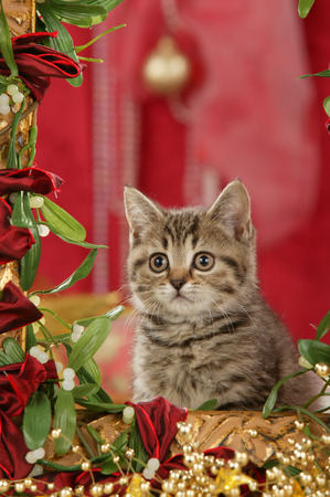 Cute british shorthair cat sitting in a golden frame with red christmas background Reklamní fotografie