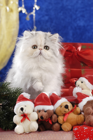 Gorgeos white persian kitten sitting in red christmas decoration