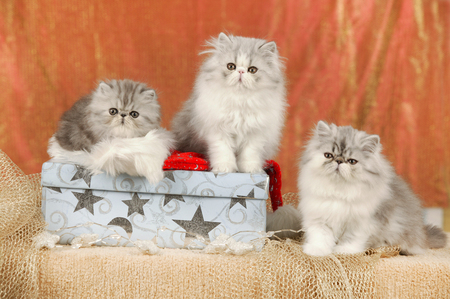 Group of cute persian kitten in christmas decoration Reklamní fotografie - 111954798