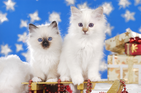 Two white kittys on a golden carriage in front of stars Reklamní fotografie
