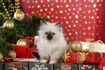 Birman kitten is sitting in christmas decoration with parcels