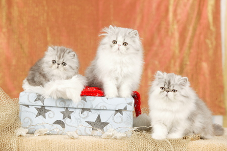 Group of cute persian kitten in christmas decoration Reklamní fotografie - 122879094
