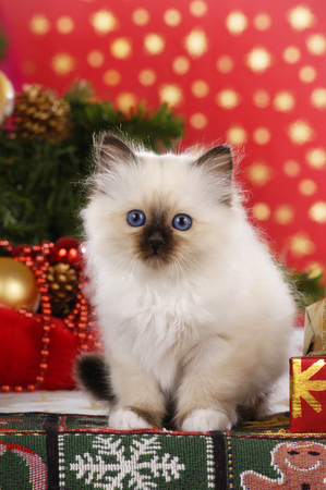 Birman kitten is sitting in christmas decoration with parcels Reklamní fotografie - 122879103
