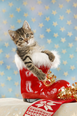 Red christmas boot with cute cat in front of a star background on christmas Reklamní fotografie - 122879117