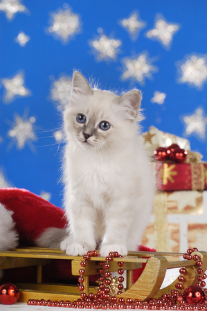 Cute kitten on a golden sled with star background Reklamní fotografie - 122879125