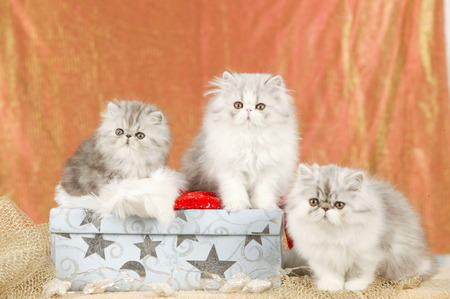 Group of cute persian kitten in christmas decoration Reklamní fotografie - 111954844