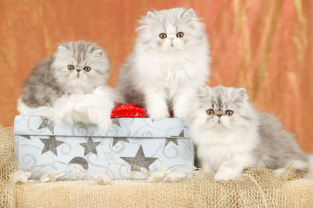 Group of cute persian kitten in christmas decoration Reklamní fotografie - 111954858