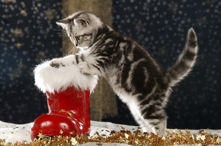 Red christmas boot with cute cat in front of a star background on christmas
