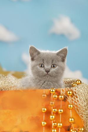 cute grey kitten in an organge box with golden stars
