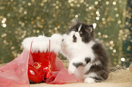 cute persian cat with a red santa boot