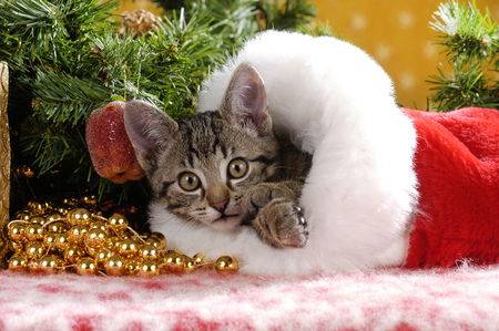 cute tabby domestic cat lying in a red velvet boot in christmas decoration Reklamní fotografie