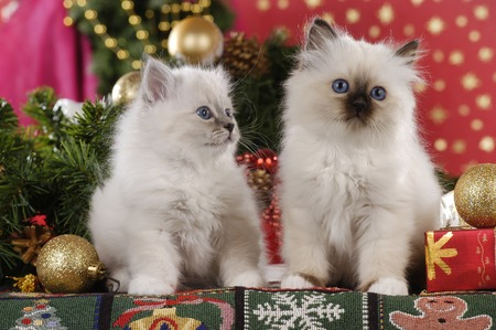 Two cute cats, breed birman cat, sitting in christmas decoration Reklamní fotografie - 111954923