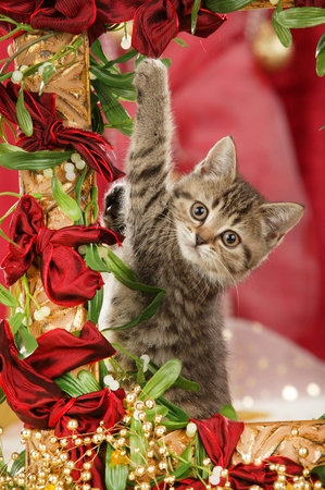 Cute british shorthair cat sitting in a golden frame with red christmas background Reklamní fotografie - 111954942