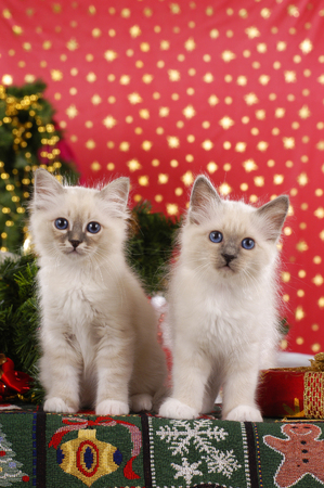 Two cute cats, breed birman cat, sitting in christmas decoration