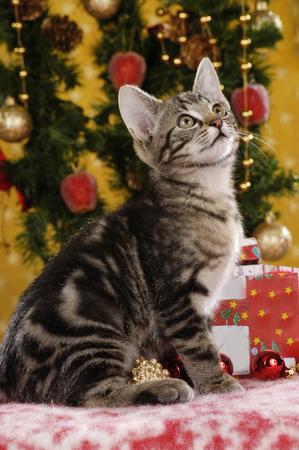 tabby kitten sitting sideways in christmas decoration