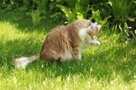 Female norwegian forest cat, red tabby white with paw up