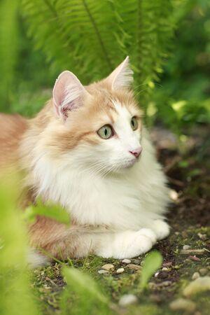 Female norwegian forest cat, red tabby white