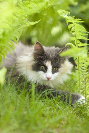 Norwegian forest cat in garden, blue white Reklamní fotografie