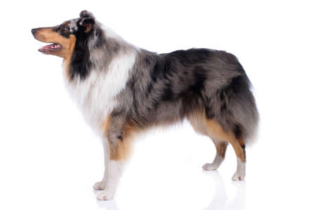 Cute collie dog standing isolated on white background from the side Reklamní fotografie